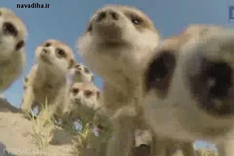 کلیپ جالب برخورد حیوانات درمقابل دوربین